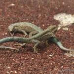 Teira dugesii jogeri, kämpfende Männchen, Ilha de Porto Santo, Região Autónoma da Madeira, 15.06.2009, Foto: A. & S. Troidl.