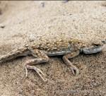 Phrynocephalus guttatus, Urda (Orda), Batys Quasaqstan oblysy, Republik Kasachstan, 25.05.2012, Foto S. N. Litvinchuk.
