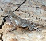Phrynocephalus helioscopus, Inder See, südöstlich Inderbor, Atyrau oblysy, Republik Kasachstan, 1.06.2012, Foto S. N. Litvinchuk.