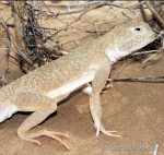 Phrynocephalus mustaceus, Männchen, Umgebung Asan, Atyrau oblysy, Republik Kasachstan, 24.05.2012, Foto S. N. Litvinchuk.