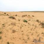 Lebensraum von Phrynocephalus mystaceus, Umgebung Asan, Atyrau oblysy, Republik Kasachstan, 24.05.2012, Foto S. N. Litvinchuk.