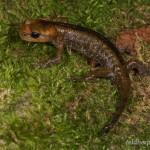Salamandra salamandra alfredschmidti, Jungtier, Flussaue Rio Tendi bei Servares, Principáu d'Asturies, 23.09.2013, Foto A.+Ch. Nöllert.