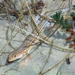 Acanthodactylus erythrurus, Männchen, Punta Candor, Provincia de Cádiz, Communidad autónoma Andalucía, 05.07.1996, Foto A.+Ch. Nöllert.