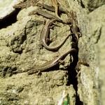 """Darevskia """"armeniaca"""" (pathenogenetisches Taxon, Hybridisierung zwischen Darevskia valentini und Darevskia mixta), unterhalb des Passes Tskhratskaro (Kleiner Kaukasus, Trialeti Gebirge), Samzche-Dschawachetis Mchare, 31.05.2002, Foto: W. Bischoff."""