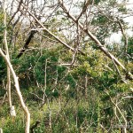 Lebensraum von Lacerta agilis grusinica, Halbinsel Pizunda, Umgebung Pizunda (subtropische Schwarzmeerküste), Apchaseti Awtonomiuri Respublika, 05.09.1974, Foto: W. Bischoff.