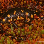 Salamandra salamandra gallaica, Serra da Estrela, Distrito da Guarda, Região Centro, 25.09.2007, Foto A. Kwet.