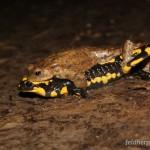 Feuersalamander sind schon im zeitigen Frühjahr aktiv, manchmal kommt es dann zu Fehlpaarungen durch klammernde Erdkrötenmännchen, Foto: U. Schulte