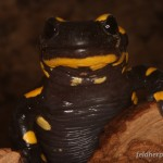 Porträt der in Luxemburg verbreiteten Unterart Salamandra salamandra terrestris, Foto: A. Kwet