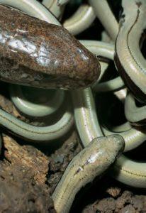 reptil-des-jahres-2017-blindschleiche-anguis-fragilis_biologie-3-3