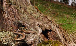 Baumwurzeln können als Winterquartier dienen, Foto: B. Trapp
